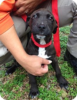Labrador Retriever Mix Puppy for adoption in Florence, Indiana - Reed