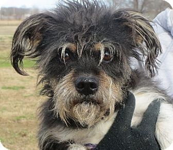 Schnauzer (Miniature)/Wirehaired Fox Terrier Mix Dog for adoption in Greenville, Rhode Island - Austin
