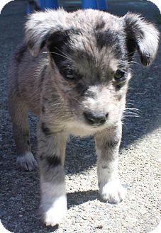 Australian Shepherd Mix Puppy for adoption in Rosemount, Minnesota - Xena