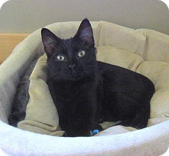 Domestic Shorthair Kitten for adoption in Roseville, Minnesota - Ricky(lovable purr boy)