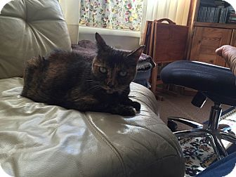 Domestic Shorthair Cat for adoption in North Plainfield, New Jersey - Chloe