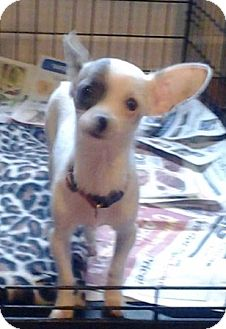 Chihuahua Puppy for adoption in Oswego, Illinois - I'M ADOPTED Nala Staples