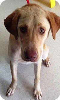 Labrador Retriever Dog for adoption in Dover, Tennessee - Peggy