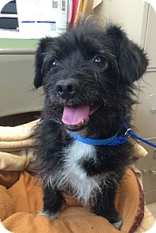 Terrier (Unknown Type, Medium)/Jack Russell Terrier Mix Dog for adoption in University Park, Illinois - Bohdi