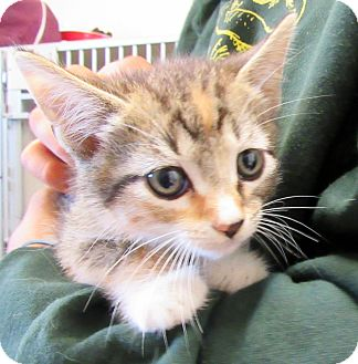 Domestic Mediumhair Kitten for adoption in Grinnell, Iowa - Mary-Kate
