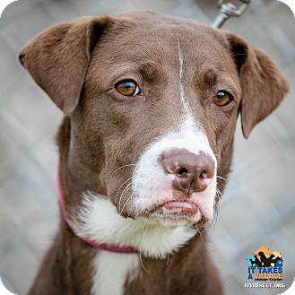 Labrador Retriever Mix Dog for adoption in Evansville, Indiana - Melanie