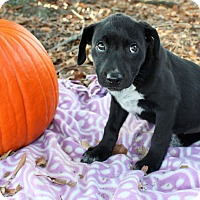 Adopt A Pet :: Jesse $250 - Seneca, SC