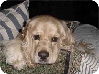 Cocker Spaniel Dog for adoption in Sugarland, Texas - Clyde