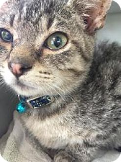 Domestic Shorthair Kitten for adoption in East Hanover, New Jersey - Andy