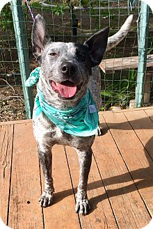 Australian Cattle Dog/Catahoula Leopard Dog Mix Dog for adoption in Santa Ana, California - Veronica