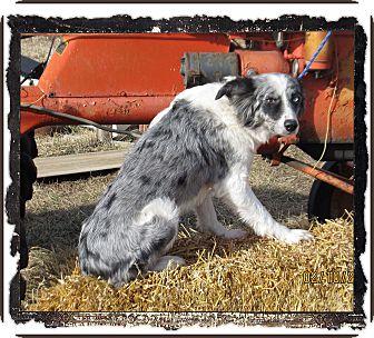 Australian Shepherd Dog for adoption in Parker, Kansas - Gunner