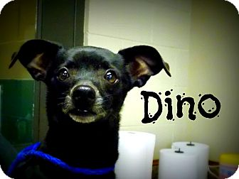 Chihuahua Dog for adoption in Defiance, Ohio - Dino