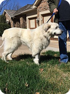Great Pyrenees Dog for adoption in Tulsa, Oklahoma - Glacier  *Adopted