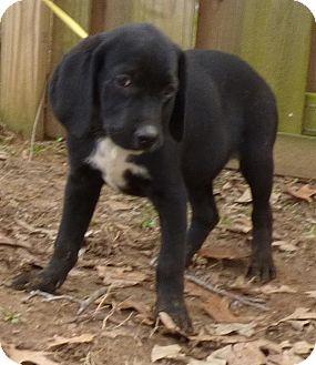 Beagle/Labrador Retriever Mix Puppy for adoption in Bedminster, New Jersey - Kiki