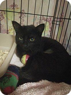 Domestic Shorthair Cat for adoption in Satellite Beach, Florida - Twix