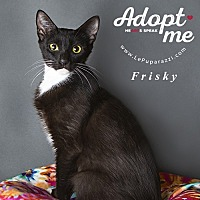 Domestic Shorthair Cat for adoption in Oviedo, Florida - Frisky