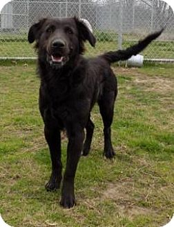 Labrador Retriever/Shepherd (Unknown Type) Mix Dog for adoption in Terrell, Texas - Zoebelle