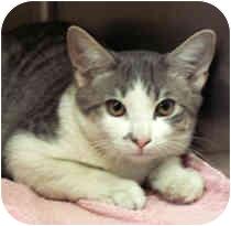 Domestic Shorthair Kitten for adoption in Milton, Massachusetts - Groucho