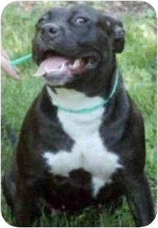 American Pit Bull Terrier Dog for adoption in chicago, Illinois - Olympia