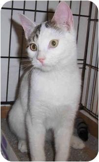 Domestic Shorthair Cat for adoption in Overland Park, Kansas - Lucky