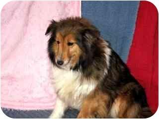 Sheltie, Shetland Sheepdog Dog for adoption in Fort Wayne, Indiana - Nicole