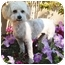 Photo 3 - Lhasa Apso/Poodle (Miniature) Mix Dog for adoption in San Clemente, California - Chance