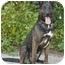 Photo 3 - Dutch Shepherd Mix Dog for adoption in Los Angeles, California - Gitana von Kern