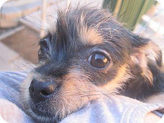 Schnauzer (Miniature)/Terrier (Unknown Type, Small) Mix Puppy for adoption in San Antonio, Texas - Bug