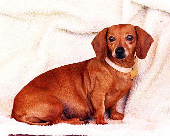 Dachshund Dog for adoption in San Jose, California - Clara