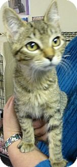 Domestic Shorthair Kitten for adoption in Quincy, California - Cat-trina