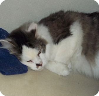 Ragdoll Cat for adoption in Belvidere, Illinois - Smidge