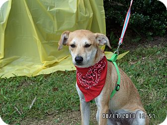 Feist Mix Puppy for adoption in Bedminster, New Jersey - Tank