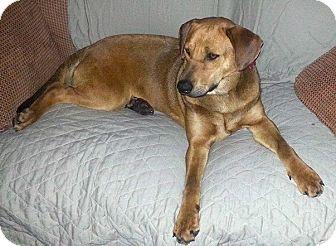 Redbone Coonhound/Hound (Unknown Type) Mix Dog for adoption in Union City, Tennessee - Pumpkin