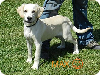 Cocker Spaniel Mix Dog for adoption in Lawrenceburg, Tennessee - Max