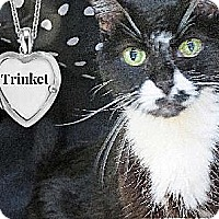 Domestic Shorthair Cat for adoption in Sherman Oaks, California - Trinket