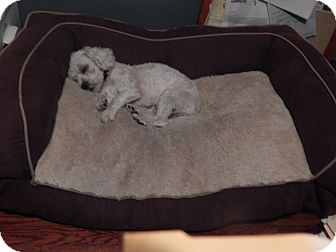 Bichon Frise Mix Dog for adoption in West Deptford, New Jersey - Suri