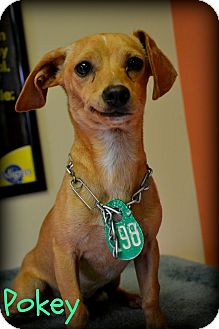 Chihuahua Mix Dog for adoption in Beaumont, Texas - Pokey