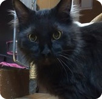 Domestic Mediumhair Cat for adoption in Wheaton, Illinois - Sam