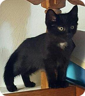 Domestic Shorthair Kitten for adoption in Concord, Ohio - 2 bonded Black kitty 12 wks