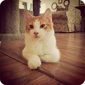 Maine Coon Cat for adoption in Santa Clarita, California - Flanagan