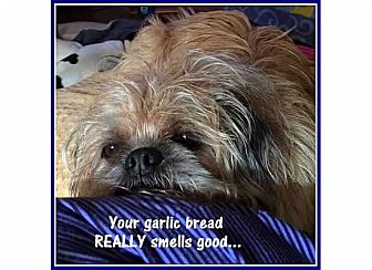 Brussels Griffon Mix Dog for adoption in Seymour, Missouri - POLLY-PEANUT -ADOPTION PENDING