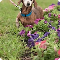 Adopt A Pet :: Misty - Gainesville, FL
