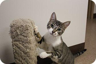 Domestic Shorthair Cat for adoption in Chesapeake, Virginia - Meadow