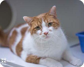 Domestic Shorthair Cat for adoption in Merrifield, Virginia - Boo Boo
