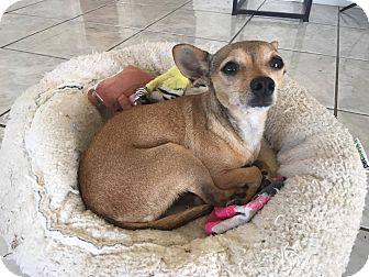 Chihuahua/Rat Terrier Mix Dog for adoption in Huntington Beach, California - Leia
