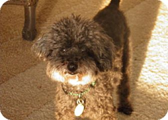 Poodle (Toy or Tea Cup) Dog for adoption in Melbourne, Florida - DANNY BOY