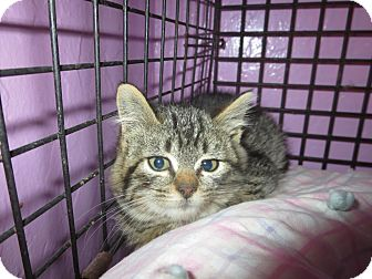 Domestic Shorthair Kitten for adoption in Coos Bay, Oregon - Jenna