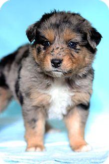 Australian Shepherd Mix Puppy for adoption in Waldorf, Maryland - Oprah