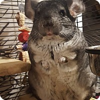 Adopt A Pet :: Chinnie - Patchogue, NY