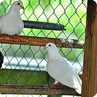 Adopt A Pet :: 21 Pigeons - Christmas, FL